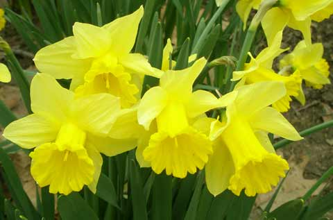 Daffodils at Cleveland's Lakeview Cemetery