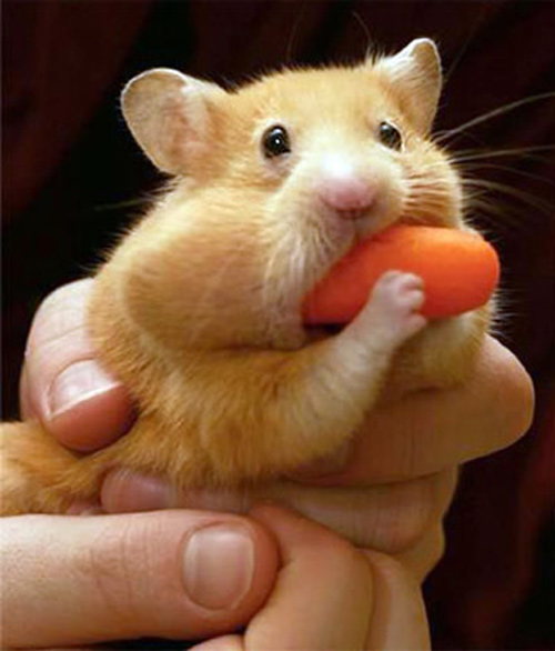 mouse eating carrot