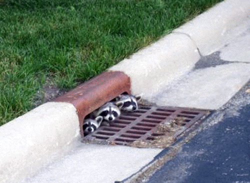 Raccoons in sewer