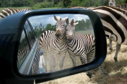 Zebras in car mirror